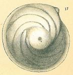 Lenticulina orbicularis