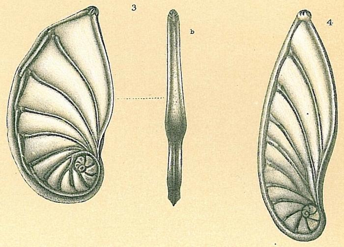 Planularia australis