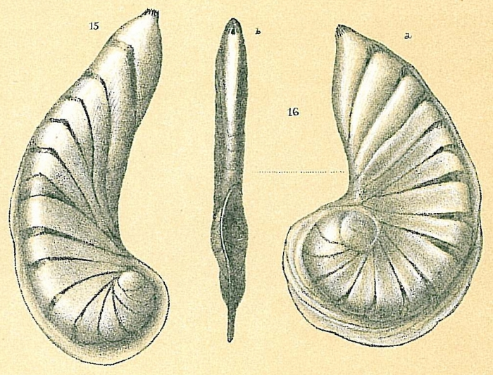 Planularia magnifica var. falciformis