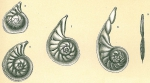 Planularia siddalliana
