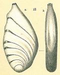 Planularia sp.nov.