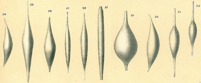 Procerolagena gracillima
