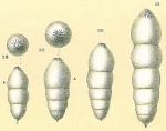 Pseudoglandulina glanduliniformis