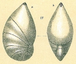 Saracenaria altifrons