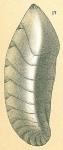 Saracenaria caribbeana