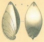 Saracenaria latifrons
