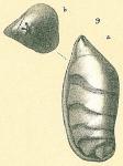 Saracenaria volpicelli