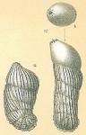 Vaginulinopsis bradyi