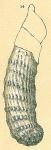 Vaginulinopsis sp.nov.