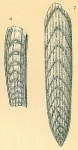 Plectofrondicularia helenae