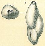 Guttulina austriaca