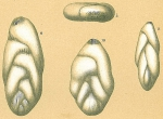 Pseudopolymorphina sp.nov.