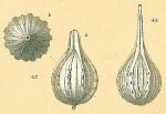 Cushmanina desmophora