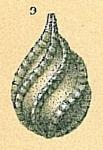 Cushmanina spiralis