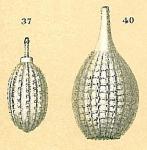 Cushmanina striatopunctata