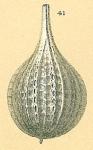 Cushmanina torquata