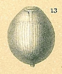 Entosolenia lineata