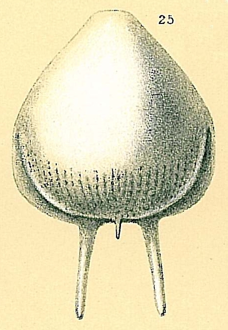 Fissurina caudigera