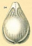 Fissurina alveolata var. semisculpta