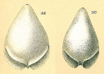 Fissurina alveolata