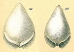 Fissurina alveolata