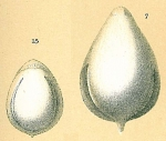 Fissurina annectens