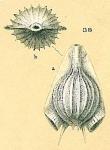 Fissurina auriculata var. costata