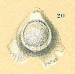 Fissurina baccata