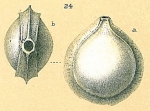 Fissurina bradii