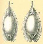 Fissurina formosa