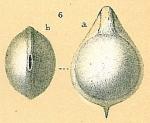 Fissurina incomposita