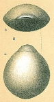 Fissurina laevigata