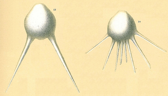 Fissurina longispina