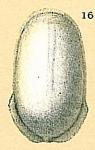 Fissurina quadrata var. carinata