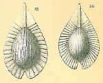 Fissurina radiata var. striatula