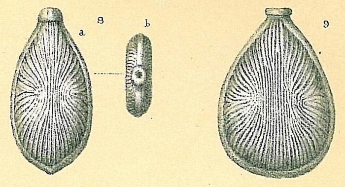 Fissurina radiatomarginata