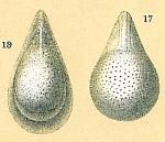 Fissurina semimarginata