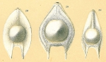 Fissurina seminiformis