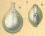 Fissurina sequenziana