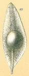 Fissurina siliqua
