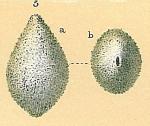 Fissurina sp.nov3., author: Tomas Cedhagen