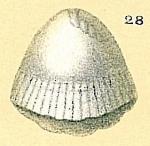 Fissurina sp.nov7.