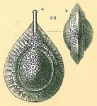 Fissurina squamosoalata