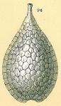 Fissurina squamosomarginata