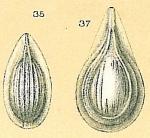 Fissurina striolata