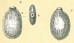 Fissurina wrightiana