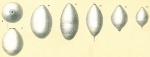 Glandulina ovula