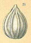 Oolina apiopleura