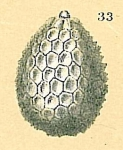 Oolina hexagona