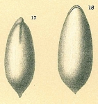 Parafissurina lateralis
